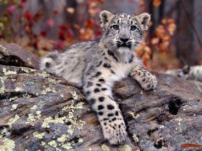 normal_Snow_Leopard_Cub